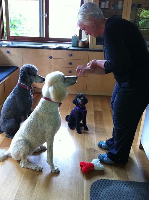 puppy Rush waits for a treat with big poodles